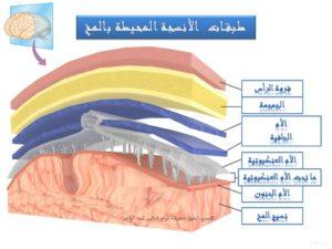 طبقات الأنسجة المحيطة بالمخ